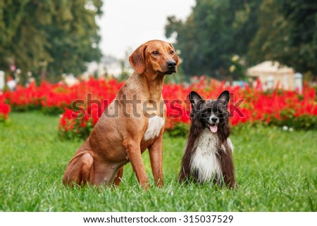 Rhodesian Ridgeback and the Chinese crested dog on a walk.  - stock photo