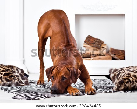 Rhodesian Ridgeback dog bending in front of a fireplace with his ridge revealed - stock photo
