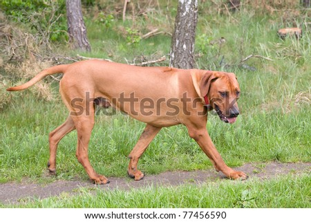 Rhodesian Ridgeback dog figure on the background of forest.