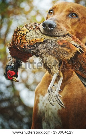 rhodesian ridgeback dog hunting - stock photo