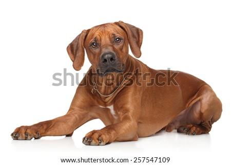 Rhodesian Ridgeback dog lying down on a white background - stock photo