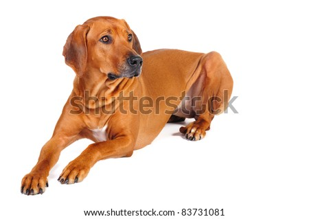 Rhodesian Ridgeback Dog lying in studio on a white background - stock photo