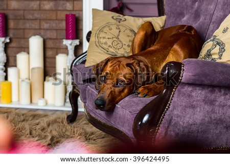 Rhodesian Ridgeback dog lying on a sofa in front of an stylized fireplace - stock photo