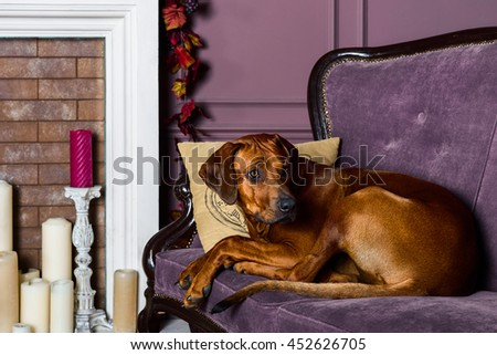 Rhodesian Ridgeback dog on a sofa in front of fireplace - stock photo