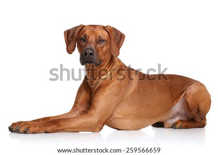 Rhodesian Ridgeback dog on a white background - stock photo