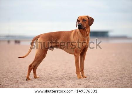 Rhodesian Ridgeback dog on the beach - stock photo