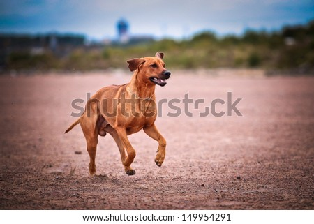 Rhodesian Ridgeback dog on the beach in the water