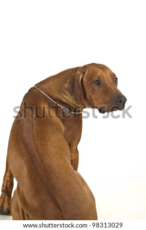 Rhodesian ridgeback dog portrait isolated on white - stock photo