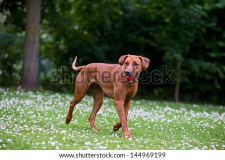 Rhodesian ridgeback dog puppy in a field of chamomile flowers - stock photo