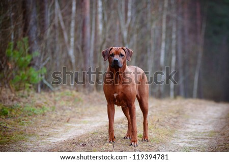rhodesian ridgeback dog standing in the forest - stock photo