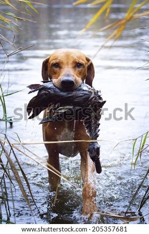 rhodesian ridgeback holding duck hunting - stock photo