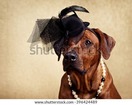 Rhodesian Ridgeback lady dressed in a hat and a necklace on a golden background - stock photo