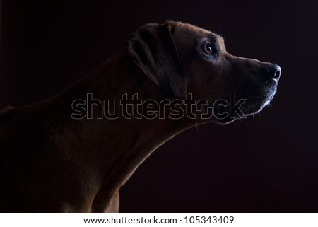 Rhodesian ridgeback male dog 10 years headshot, Closeup, Lowkey - stock photo