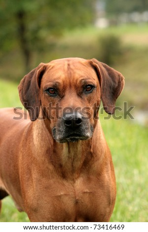 rhodesian ridgeback male portrait - stock photo