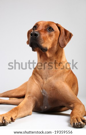 rhodesian ridgeback over grey background - stock photo