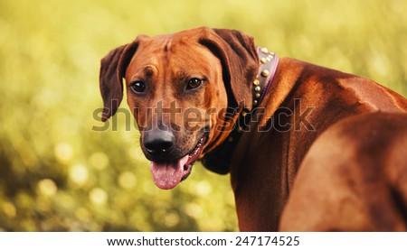 Rhodesian Ridgeback portrait in autumn background - stock photo