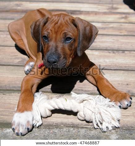 Rhodesian Ridgeback puppie - stock photo