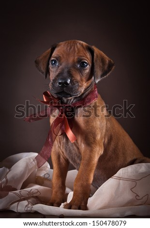 Rhodesian Ridgeback puppies for background scenery