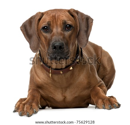 Rhodesian Ridgeback puppy, 7 months old, lying in front of white background - stock photo