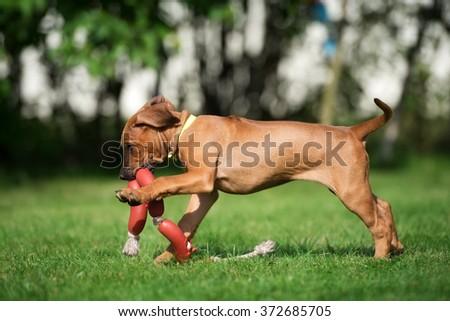 rhodesian ridgeback puppy playing outdoors - stock photo