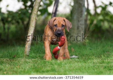 rhodesian ridgeback puppy playing with a toy
