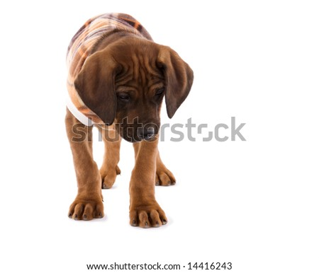 Rhodesian ridgeback puppy with a blanket coat suit . - stock photo