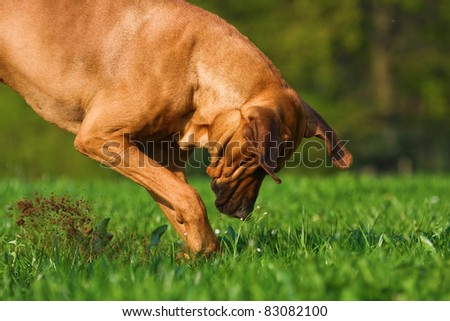 Rhodesian Ridgeback rude digging up the meadow