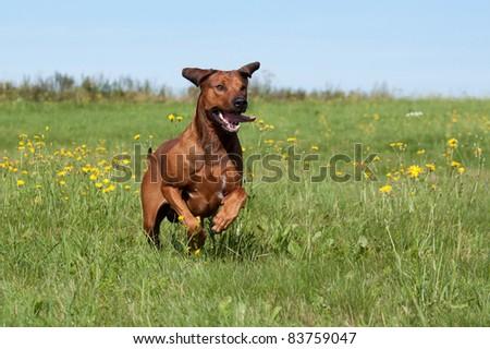 Rhodesian Ridgeback runs across the meadow - stock photo