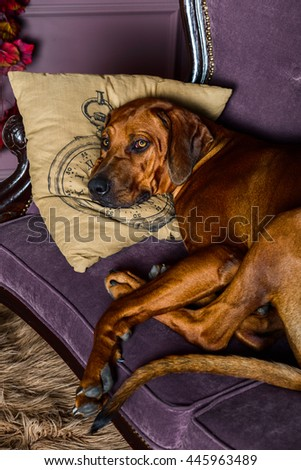Rhodesian Ridgeback sleeping with its head on a pillow