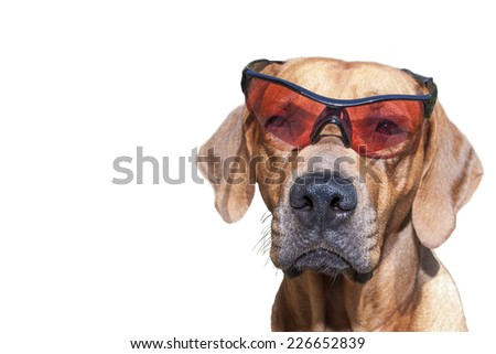 Rhodesian ridgeback with sunglasses, detail, funny photo, Isolated on white - stock photo
