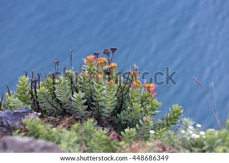 Rhodiola rosea or roseroot or golden root shoots at rocks above water at seaside. Photographed in Norway.  - stock photo