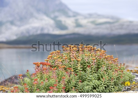 Rhodiola rosea (roseroot, golden root) flowering at seaside in Norway.
