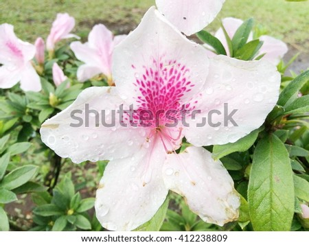 Rhododendron (Azalea) in the park - stock photo