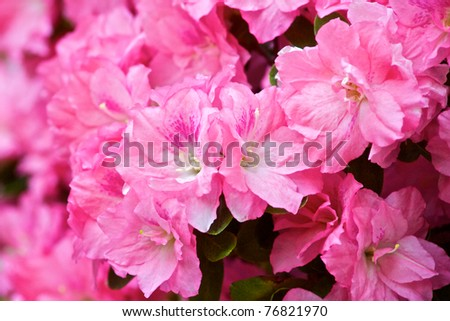 Rhododendron Azaleas blossom in the early spring light at Pittsburgh's Phipps Conservatory. - stock photo