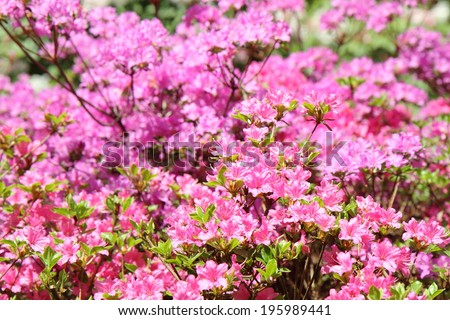 Rhododendron blooming - stock photo
