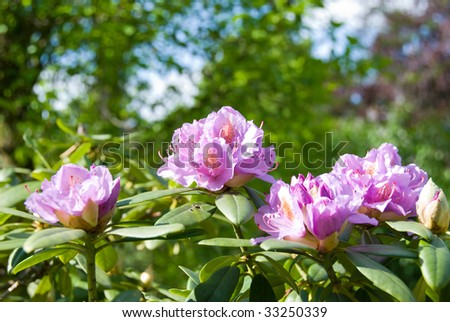 Rhododendron blossom in the spring with green leaves.