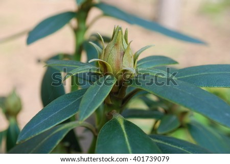 Rhododendron bud and leaves. Springtime. - stock photo