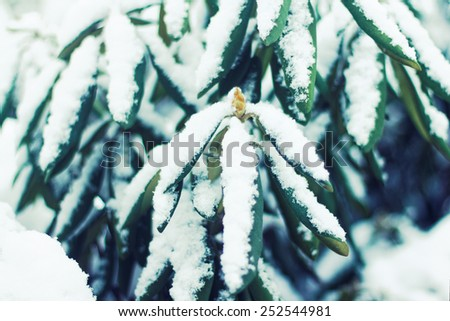 Rhododendron bud with leaves, snow covered. Winter season - stock photo
