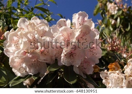 stock-photo-rhododendron-ericaceae-plant