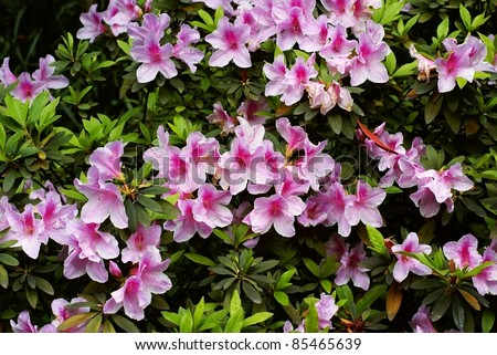 Rhododendron flower background - stock photo