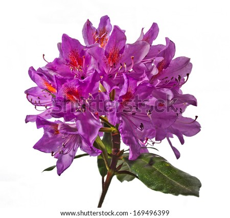 Rhododendron flower head - stock photo