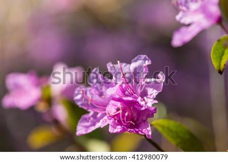 rhododendron flower macro photo - stock photo