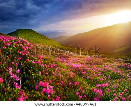 Rhododendron flowers in summer mountains - stock photo