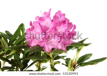 Rhododendron flowers isolated on white background