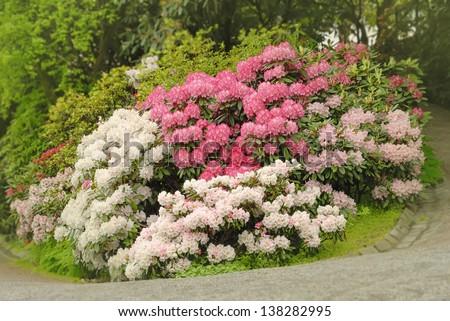 Rhododendron garden - stock photo