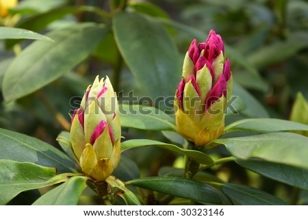 Rhododendron - one week before full flowering - stock photo