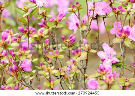 Rhododendron or Azalea blossoms bush, bright pink flowers ornamental garden deciduous shrub blooming in spring. Soft focus. Natural spring background. - stock photo
