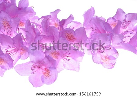 Rhododendron petals on a white background   - stock photo