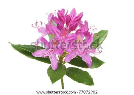 Rhododendron ponticum flower and leaves isolated against white - stock photo
