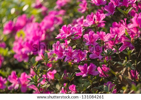 Rhododendron pulchrum Sweet , - stock photo